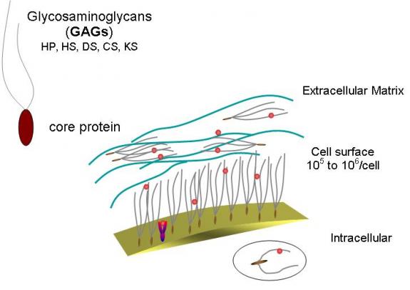 glycosaminoglycan