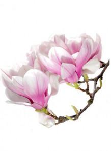 Magnolia Extract