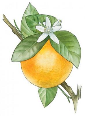 Orange Flower Extract (Natural Deodorizer)
