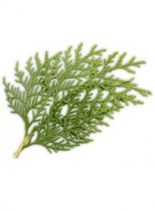 Japanese Cedar (Cryptomeria Japonica Bud Extract)