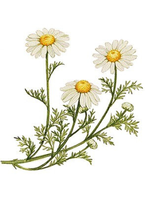 German Chamomile Extract (Natural Bisabolol)