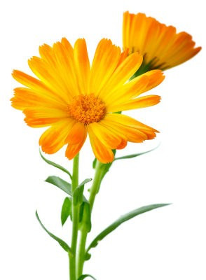 Calendula Extract (Water Soluble)