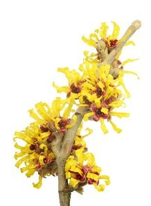 Witch Hazel (Distilled - Alcohol Free)