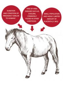 Horse Placenta รกม้าสกัด