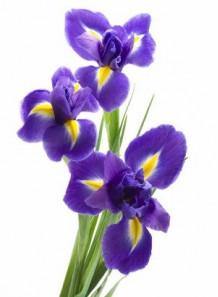 Bescents I (iris - ไอริส)
