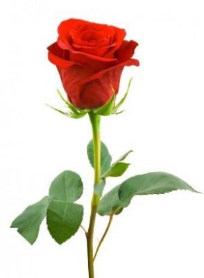Bescents R (rose - กุหลาบ)