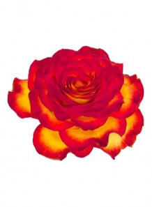 Rose Attack