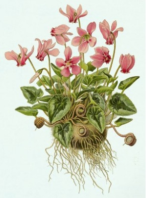 Herbal Cyclamen