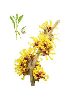 Witch Hazel (Alcohol Free) Plus Allantoin