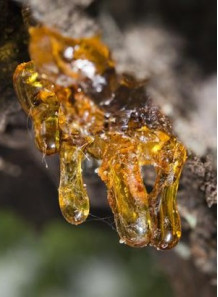 Copaiba Oil (60% Beta Caryophyllene)