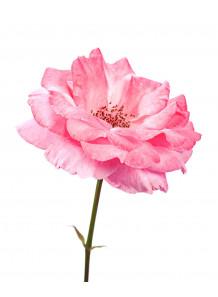 Rose (Rosa Damascena) Extract สารสกัดกุหลาบ