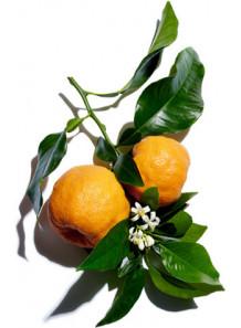 Citrus Aurantium Dulcis (Orange) Flower Extract สารสกัดดอกส้ม