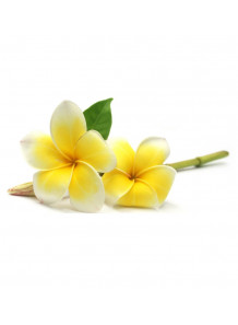 Plumeria Alba (Frangipani) Flower Extract สารสกัดดอกลีลาวดี
