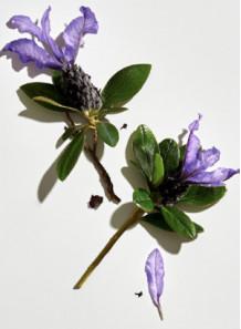 Bakuchiol (Natural Retinol)