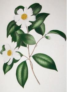 Tea (Camellia oleifera) Seed Oil (Refined)