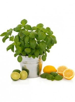 Cool Citrus Basil (Bath and Body)