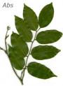 Peru Balsam Absolute