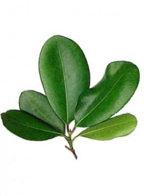 Bay Oil, Bay West Indies Oil (Leaf)