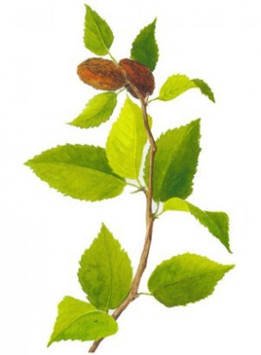 Birch Sweet Oil