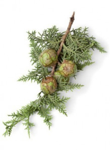 Cypress Oil (Leaf)