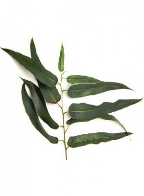 Eucalyptus Citriodora Oil (Eucalyptus Lemon)