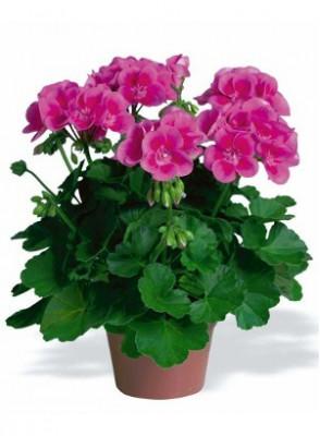 Rose Geranium Oil (Flower)