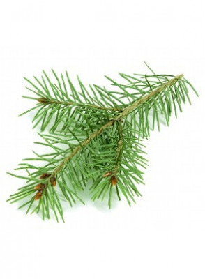 Pine Oil (India, Needles + Twigs)