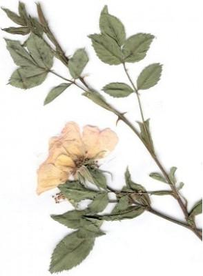 Bois De Rose (Rosewood) Oil Brazil