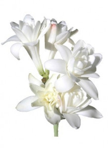 Tuberose Absolute