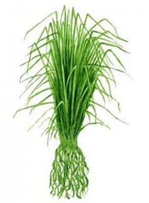 Vetiver Oil (Root)