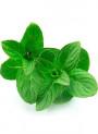 Bergamot Mint Oil (Mentha Citrata)