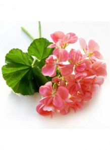 Geranium Bourbon Fragrance Oil
