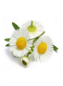 Chamomile Valley