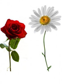 Rose Chamomile