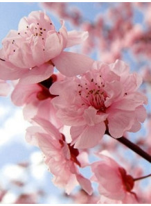 Japanese Cherry Blossom (Bath & Body)