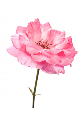 Rose (Rosa Damascena) Extract สารสกัดกุหลาบมอญ