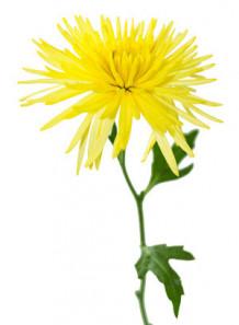 Chrysanthemum Indicum Extract สารสกัดเก๊กฮวย