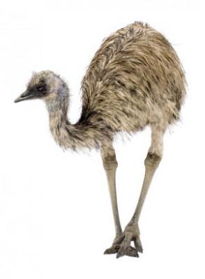 Emu Oil (China)