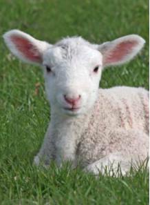 Sheep Placenta รกแกะสกัด