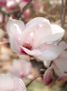 Magnolia Extract สารสกัดแมกโนเลีย