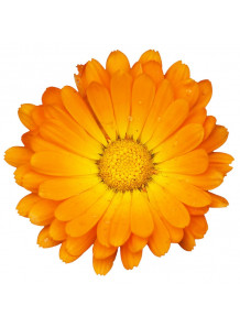 Calendula (Marigold) Essential Oil