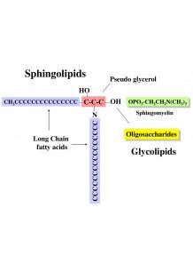 Sphingolipids สฟิงโกลิพิด