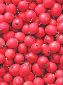 Hawthorn Extract (20% Flavonoids) ฮอร์ธอร์น / เซียนจา / ซัวจา