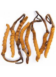 Cordyceps (Polysaccharide 50%) สารสกัดจาก ถั่งเช่า