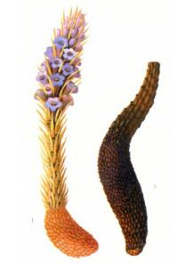 Cistanche Deserticola Extract ฉ่งย้ง