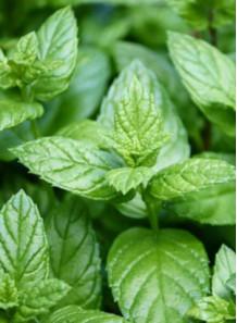 Peppermint Oil (Food Grade)