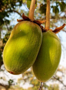 Baobab Oil